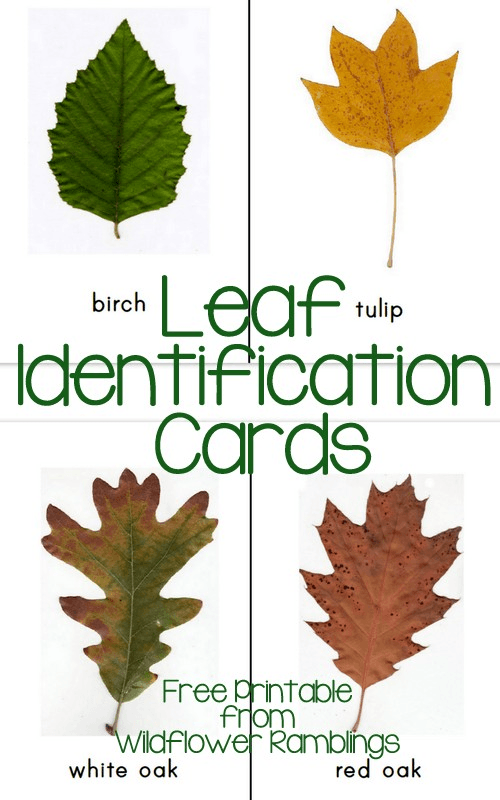 http://wildflowerramblings.com/homeschooling/leaf-identification-cards-free-printable/
