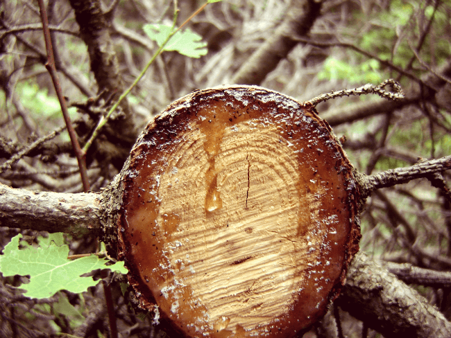 Get ready for backyard nature study by maple sugaring at home!